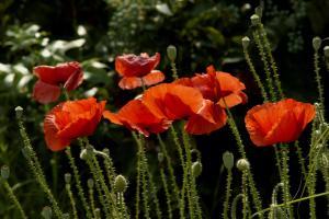 PoppyFlowers